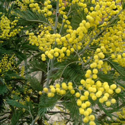 Acacia Dealbata Seeds Silver Wattle Blue Wattle Mimosa Plant