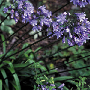 Agapanthus Praecox Seeds Blue Lily African Lily Lily Of The Nile Plant World Seeds