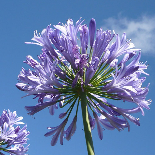 Agapanthus Praecox Seeds Blue Lily African Lily Lily Of