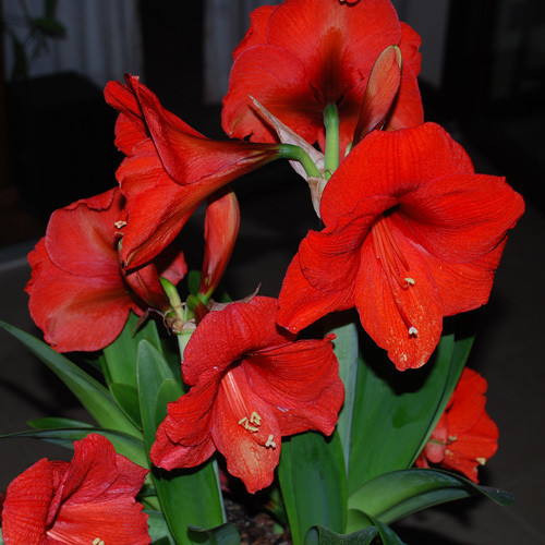 Amaryllis red giant
