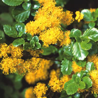 Andean choice shrubs