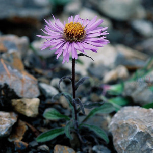 Aster likiangensis