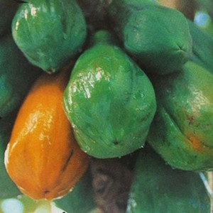 Carica papaya 1