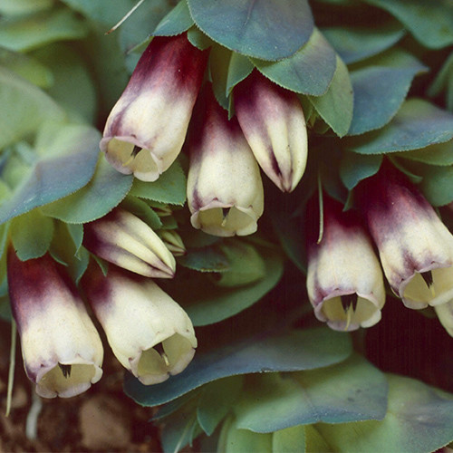 Cerinthe rhubarb and custard