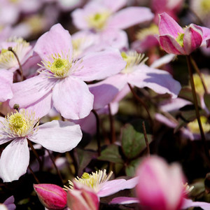 Clematis montana perfumed forms