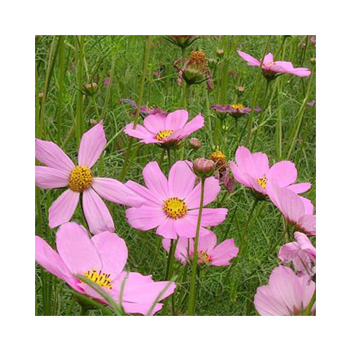 Cosmos compact single pink