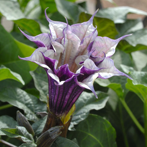 10x Ballerina Datura Para July White-Purple Thorn-apple seed plant #299