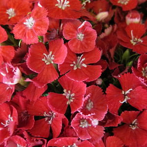 Dianthus barbatus red