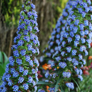 Echium fastuosum new blue