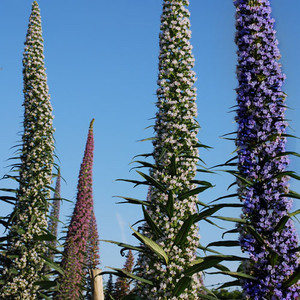 Echium three kinds