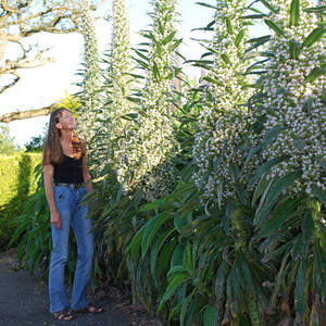 White echiums
