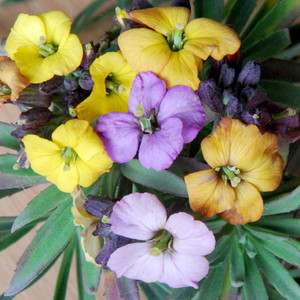 Erysimum rays early giants