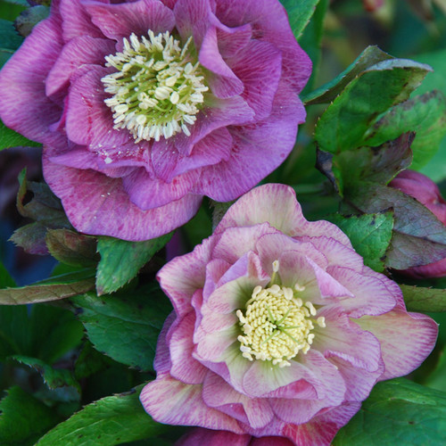 Helleborus Double Roses Seeds Plant World Seeds