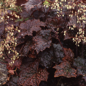 Heuchera palace purple 1