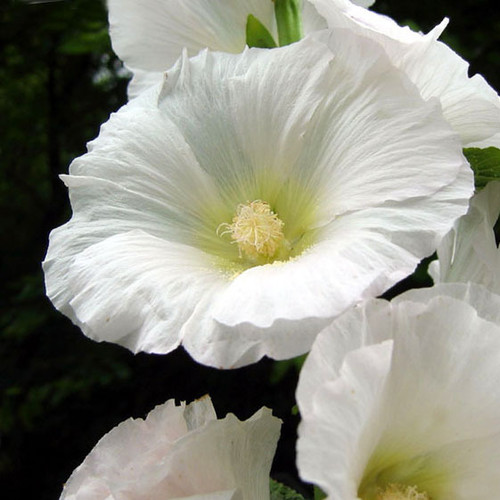 Hollyhock snow peak