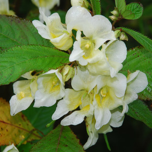 Impatiens autumn canaries close