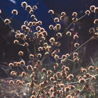 Juncus 'swarm of hedgehogs'