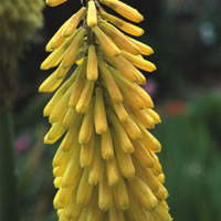 Kniphofia mixed species