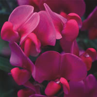 Lathyrus hardy species mixed