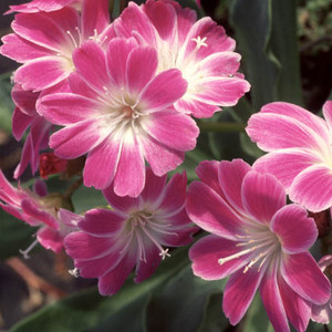 Lewisia bright eyes