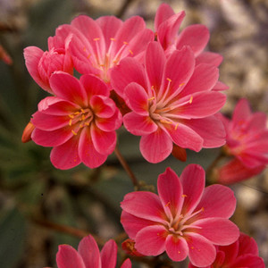 Lewisia cotyledon ruby red