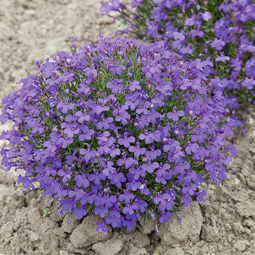 Lobelia Erinus Crystal Palace Seeds Plant World Seeds