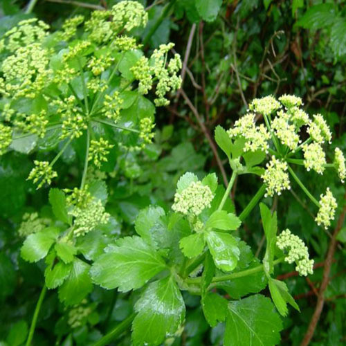 Lovage flower images galleries with a bite - Tips planting herbs lovage parsley dill ...