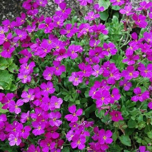 Lunaria munsted purple 7