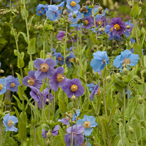 Meconopsis shades