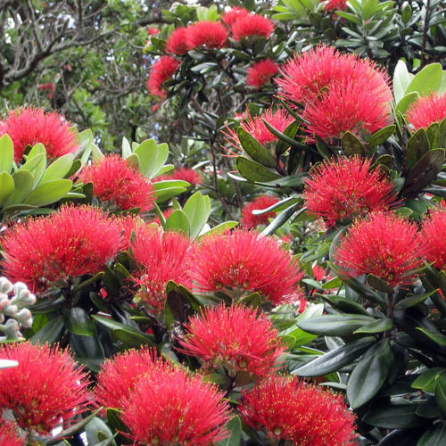 Metrosideros Excelsa Seeds Phutukawa New Zealand Christmas Tree