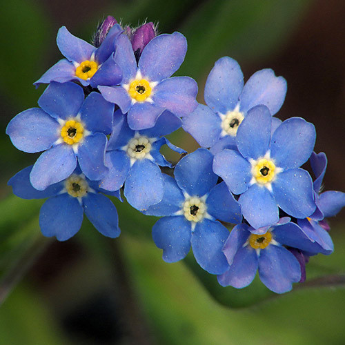 myosotis 39 indigo blue 39 seeds forget me nots myosotis sylvatica plant world seeds. Black Bedroom Furniture Sets. Home Design Ideas