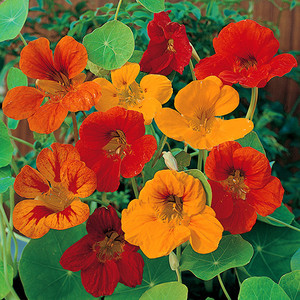 Nasturtium tom thumb mix 500