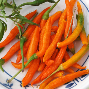 Orange thai pepper1