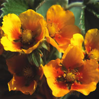 Potentilla mixed