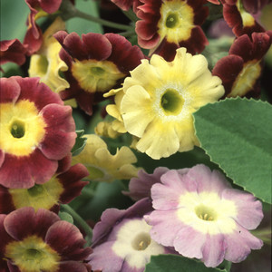 Primula auricula mixed