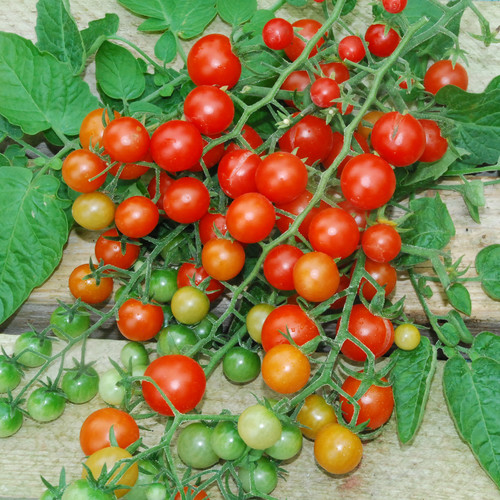 Image result for currant tomato