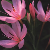 Schizostylis mixed colours