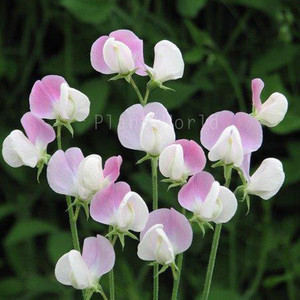 Raised beds Sweet Pea Flower Seeds Supersonic Ideal for beds and Borders Flower Seeds Suttons Sweet Pea Seeds Packet Content 20 Seeds Sweet Pea Seeds Scented Grow You own Lathyrus odoratus