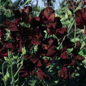 Sweet pea midnight blue beaujolais