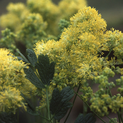 Thalictrum Flavum Glaucum Seeds Yellow Meadow Rue Plant World