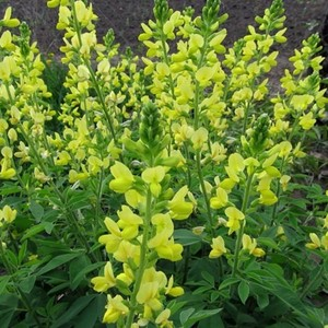 Thermopsis Seeds Plant World Seeds
