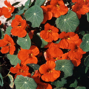 Tropaeolum empress of india