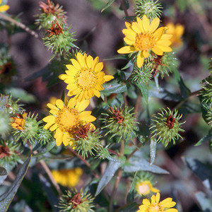 Puget gumweed
