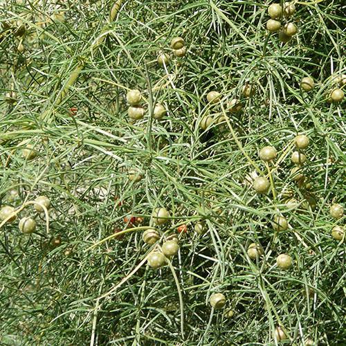 Green Gem Asparagus: ASPARAGUS VERTICILLATUS SEEDS
