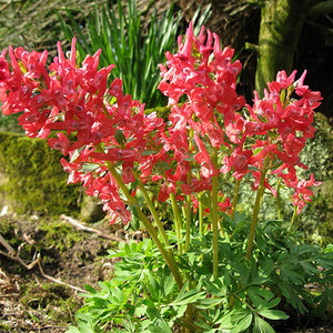 Corydalsi solida george baker