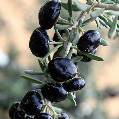 Goji Berry Big Black Seeds Lycium Ruthenicum Wolf Berry Berry