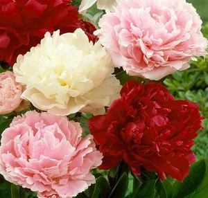 Paeonia pot luck mix