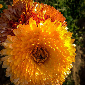 Calendula officinalis triangle flashback