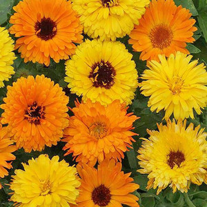 Calendula officinalis pacific beauty mix