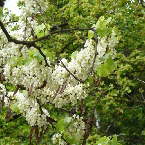 Cercis Siliquastrum Albida Seeds White Flowered Judas Tree